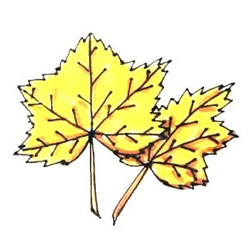 How to Draw Autumn Maple Leaves Step by Step for Kids