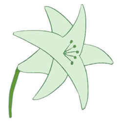 How to Draw a Lily Flower Step by Step for Kids