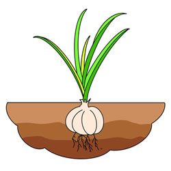 How to Draw a Garlic in the Soil Step by Step