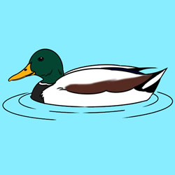 How to Draw a Mallard Duck Step by Step