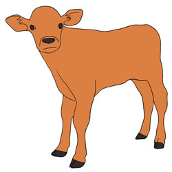 How to Draw a Calf