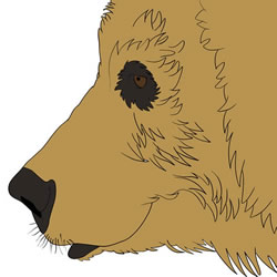 How to Draw a Brown Bear Face
