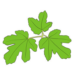 How to Draw Fig Leaves