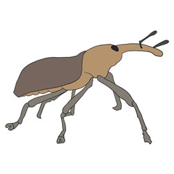 How to Draw a Realistic Weevil
