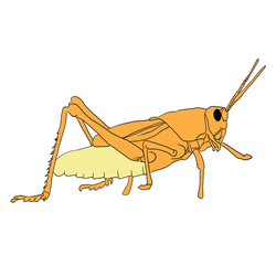 How to Draw a Realistic Grasshopper