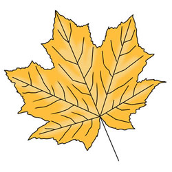 How to Draw an Autumn Maple Leaf
