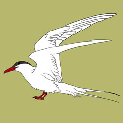 How to Draw an Arctic Tern