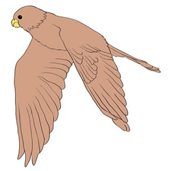 How to Draw a Falcon Flying